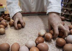 Птицефабрика «Пионерское» планирует нарастить объёмы производства яиц к Пасхе