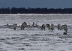 Для выяснения причин происшедшего с оленями в район Усть-Хайрюзово отправятся специалисты оленеводческого хозяйства